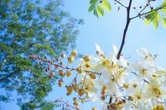 美好的金黄,白色瓣花分支在与蓝天的阳光下和绿色叶子 免版税库存照片