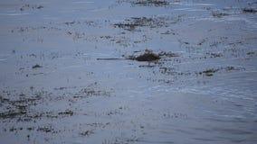 美好的镇静水獭游泳在寻找鲜鱼的镇静海湾水中吃 股票视频