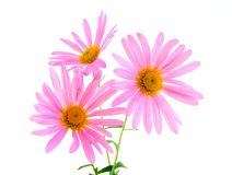 美好的雏菊大丁草粉红色 库存照片