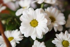 美好的雏菊白色 免版税库存图片