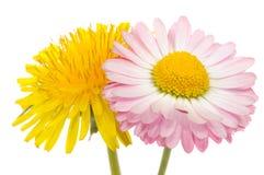 美好的雏菊蒲公英花粉红色黄色 图库摄影