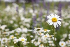 美好的雏菊领域 库存照片