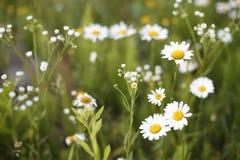 美好的雏菊领域 免版税库存照片