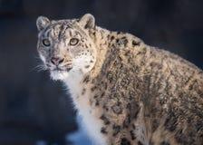 美好的雪豹传染性的早晨太阳 库存图片