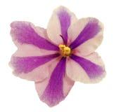 美好的非洲紫罗兰 库存照片