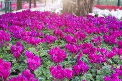 美好的领域紫色仙客来花园 免版税库存图片