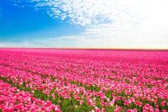 美好的领域观点的桃红色郁金香,荷兰 免版税库存图片