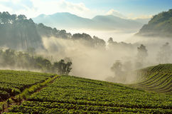 美好的风景和新鲜的草莓在Chiangmai,泰国种田 免版税库存照片
