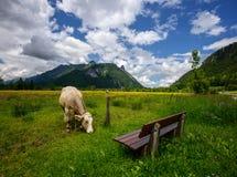 美好的风景在有吃草在绿色草甸、典型的乡下和农场的母牛的阿尔卑斯在山之间 库存照片