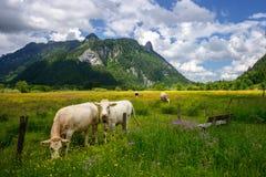 美好的风景在有吃草在绿色草甸、典型的乡下和农场的母牛的阿尔卑斯在山之间 库存图片