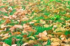 美好的风景在秋天在绿草草甸领域下落的季节性干叶子在公园 库存照片