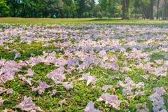美好的风景在秋天在绿草草甸领域下落的季节性桃红色花在公园 免版税图库摄影