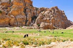美好的风景风景视图流浪的` s山羊牧群在一点Petra大草原在旱谷芭蕉科,约旦的 库存图片
