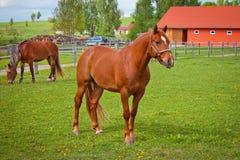 美好的马红色 库存照片