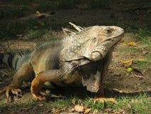 美好的鬣鳞蜥绿色 免版税图库摄影