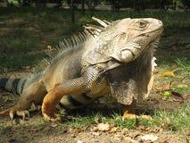 美好的鬣鳞蜥绿色 库存图片