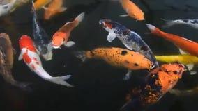 美好的鲤鱼鱼游泳在池塘 股票视频