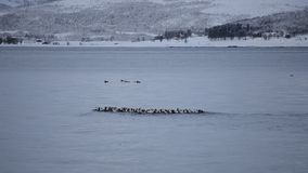 美好的鸟群在镇静波浪海湾浇灌有多雪的山背景 股票录像
