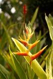 美好的鸟花天堂 在绿色背景的热带花鹤望兰reginae,在泰国 免版税库存照片