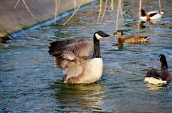 美好的鸭子游泳在池塘 免版税库存照片