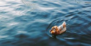 美好的鸭子游泳在湖 免版税图库摄影