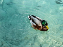 美好的鸭子游泳在透明的水中在土耳其 免版税库存图片