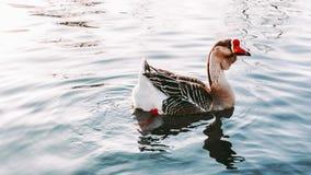 美好的鹅游泳在湖 库存图片