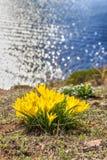 美好的黄色春天开花在水背景的番红花 第一花春天 免版税库存照片