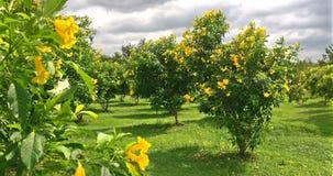 美好的黄色长辈花或tecoma stans在摇摆与风的庭院里在多云天 股票录像