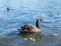 美好的黑天鹅游泳在一个池塘在秋天 库存照片