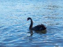 美好的黑天鹅游泳在一个池塘在秋天 库存图片