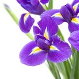美好的黑暗的花虹膜紫色 免版税图库摄影