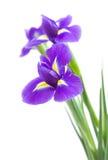 美好的黑暗的花虹膜紫色 免版税库存图片