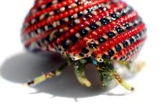 美好的黑色螃蟹隐士红色壳 免版税库存图片
