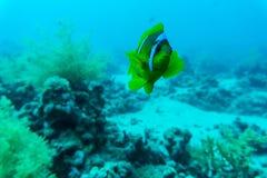 美好的水下的抽象样式珊瑚礁和一个对黄色蝴蝶鱼 库存照片