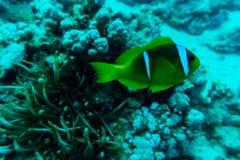 美好的水下的抽象样式珊瑚礁和一个对黄色蝴蝶鱼 免版税库存图片