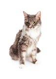 美好的年轻国内长发猫开会 库存图片