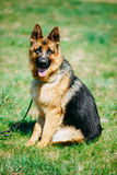 美好的年轻布朗德国牧羊犬狗开会 库存图片
