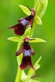 美好的绽放在草甸 好的野生兰花 飞行兰花, Ophrys insectifera,开花的欧洲地球野生兰花, natur 免版税库存图片
