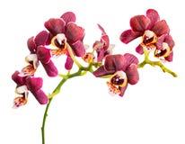 美好的黑暗的紫色, orc的开花的枝杈与黄色多斑点的 库存图片