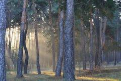 美好的晴朗的黎明在杉木森林里 免版税库存照片