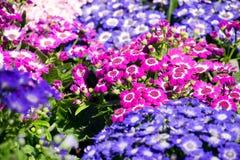 美好的紫罗兰色桃红色和白色瓜叶菊 库存图片