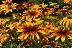 美好的黄色和布朗黑眼睛的Susans 图库摄影