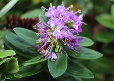 美好的紫色花和waterdrops 免版税库存图片