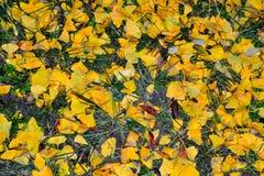 美好的黄色落的叶子地毯 免版税库存照片
