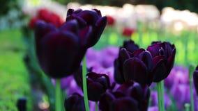 美好的紫色郁金香背景 改变的焦点 影视素材