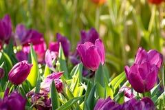 美好的紫色郁金香花田在阳光下 库存图片