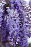美好的紫色紫藤花绽放 免版税库存照片