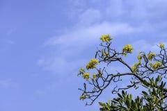 美好的黄色Tabebuia chrysantha绽放在泰国 免版税图库摄影