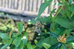 美好的蝴蝶outoodrs在热带巴厘岛,印度尼西亚公园  异乎寻常的蝴蝶 图库摄影